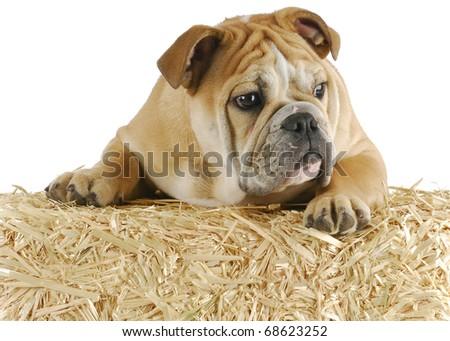 english bulldog climbing up on bale of straw on white background