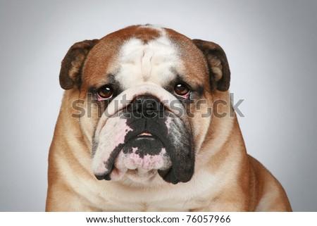 Grey English Bulldog English bulldog.