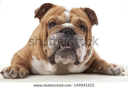 Big English Bulldogs English Bulldog Close-up With