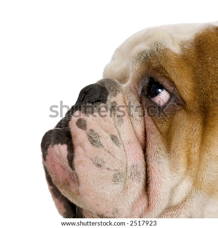 english Bulldog cream and white in front of white background
