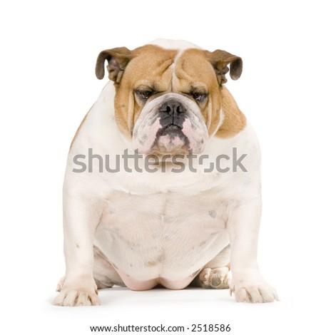 english Bulldog cream and white stitting in front of white background