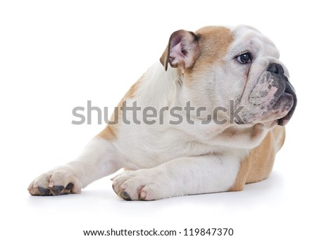 English bulldog dog looking away from camera, over white background