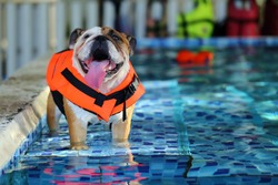 English Bulldog, Dog wear life jacket in swimming pool