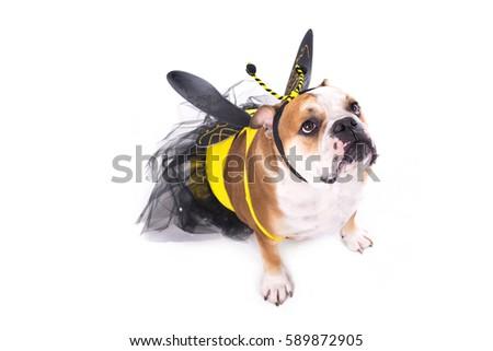 English bulldog dressed as a bee #589872905