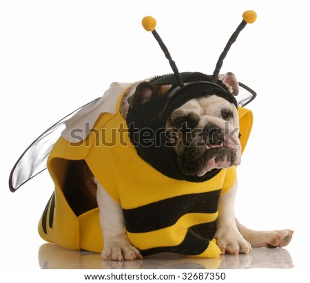 english bulldog dressed up as a bee on white background