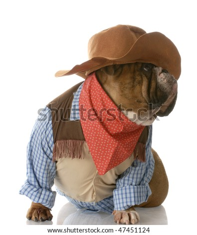 english bulldog dressed up as a cowboy with reflection on white background