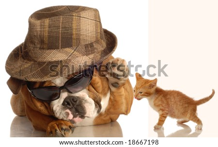 english bulldog dressed up in glasses and fedora  ready to  hit down cute kitten - stock photo