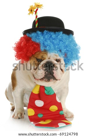 english bulldog dressed up like a clown with reflection on white background