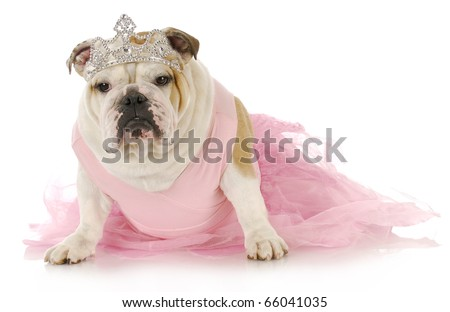 english bulldog dressed up like a princess in pink on white background