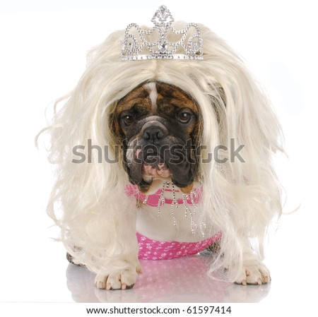 english bulldog dressed up like girl with blond wig and tiara with reflection on white background