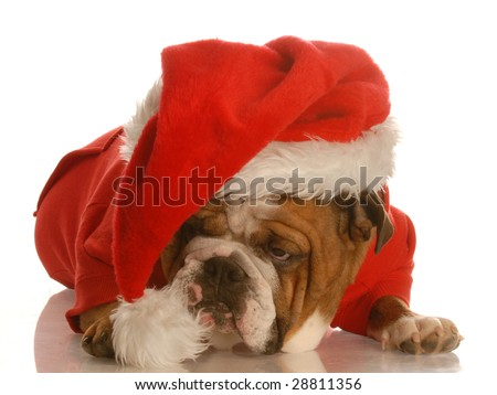 english bulldog dressed up like santa clause with sour looking expression