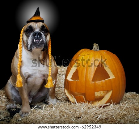 English Bulldog in witch costume with Jack-O-Lantern