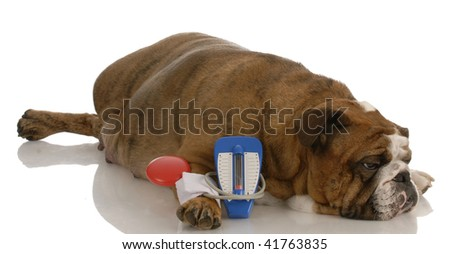 english bulldog laying beside toy blood pressure gauge with sorrowful expression