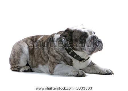 Bored English Bulldog English Bulldog Laying Down