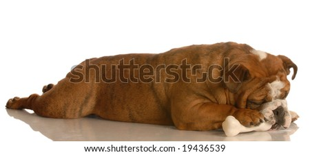 english bulldog laying down stretched out chewing on a dog bone