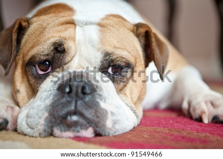 English Bulldog laying on a red and cream carpet. She is looking to the side. Typical Bulldog boredom.. - stock photo