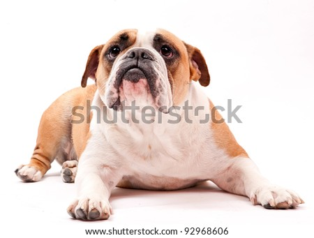 english bulldog laying on white background