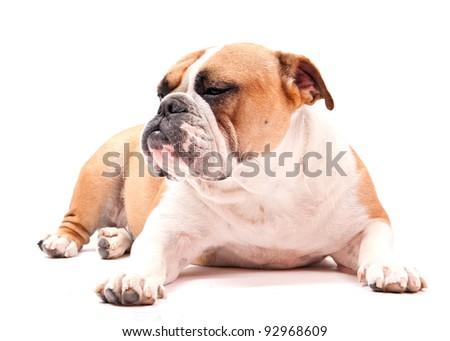 english bulldog laying on white background