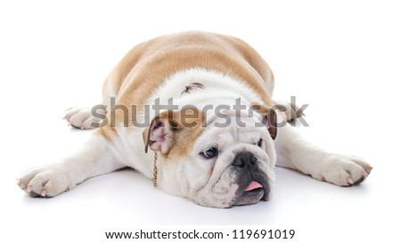 English bulldog laying stretched over floor, high key