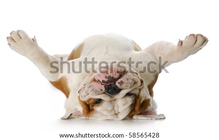 english bulldog laying upside down on his back with reflection on white background