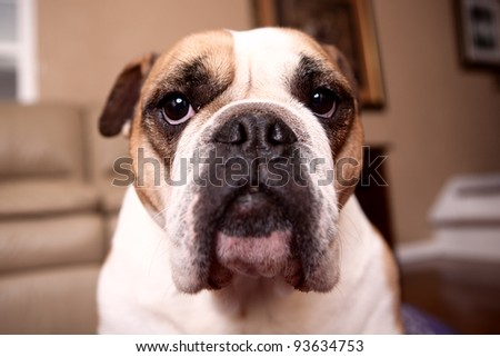 English Bulldog looking at the camera