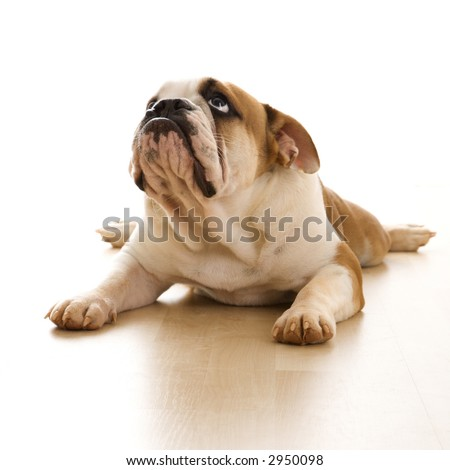 English Bulldog lying on floor looking up.