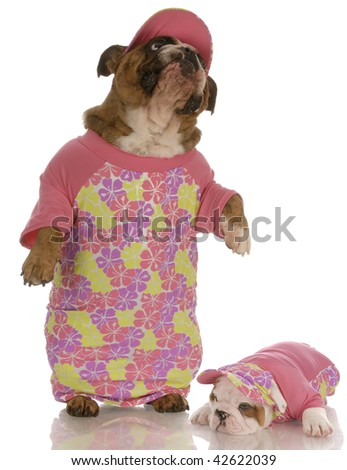 english bulldog mother and daughter wearing matching outfits