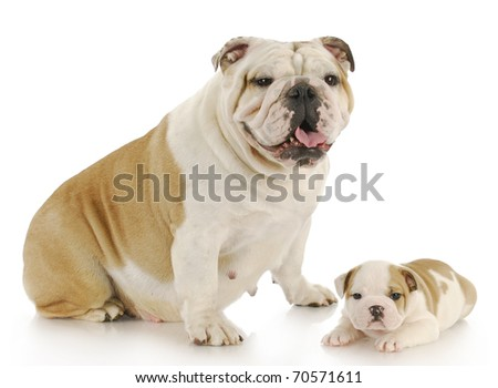 english bulldog mother and puppy looking at viewer with reflection on white background