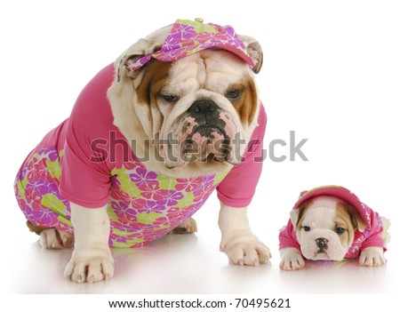 english bulldog mother and puppy wearing matching pink outfits on white background