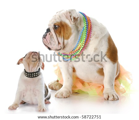english bulldog mother sitting with puppy looking up at her face with reflection on white background