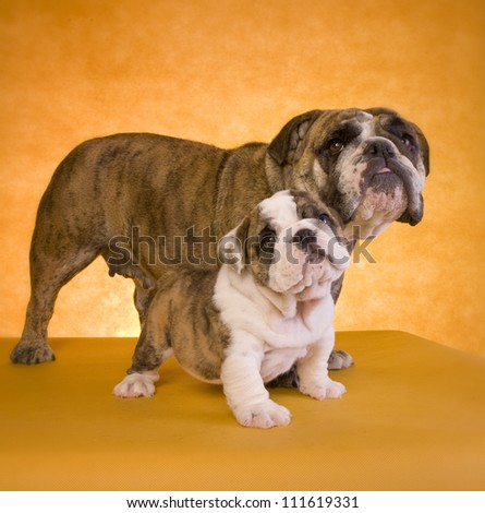English Bulldog mother with puppy on gold background