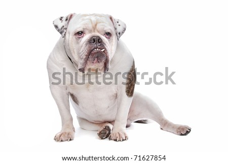 English bulldog or British Bulldog