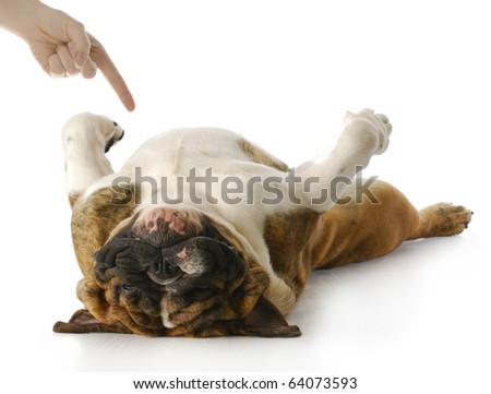 english bulldog playing dead with reflection on white background