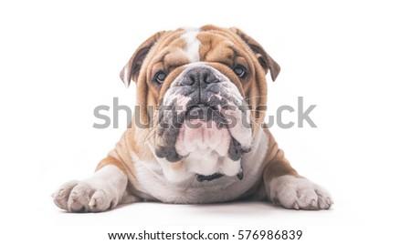 English bulldog pup isolated on white background  #576986839