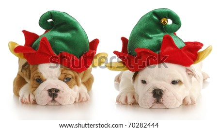 english bulldog puppies dressed up like christmas elf with reflection on white background - stock photo