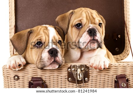 english Bulldog puppies in basket
