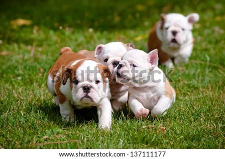 english bulldog puppies playing outdoors