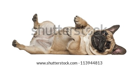 English Bulldog puppy, 2 and a half months old, lying against white background