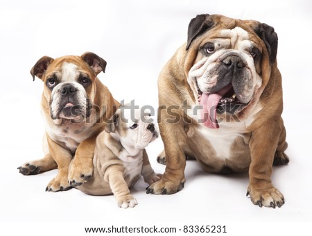 stock photo : english Bulldog puppy and adult dog. Save to a lightbox ▼
