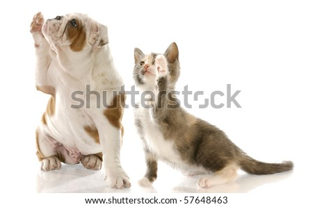english bulldog puppy and kitten holding paw up to shake