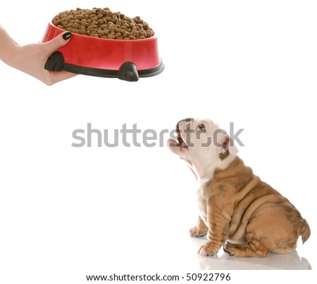 english bulldog puppy barking in anticipation while waiting to be feed