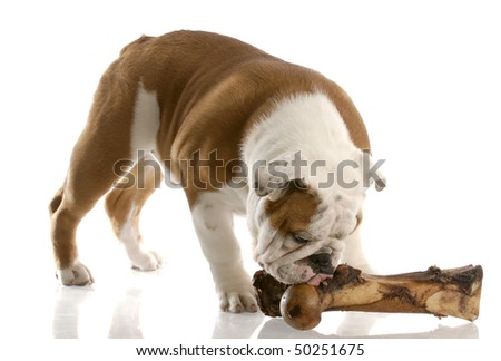 english bulldog puppy chewing on a large bone with reflection on white background