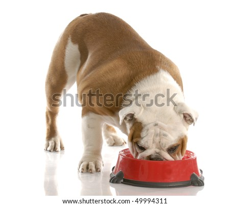 english bulldog puppy eating out of dog food dish with reflection on white background
