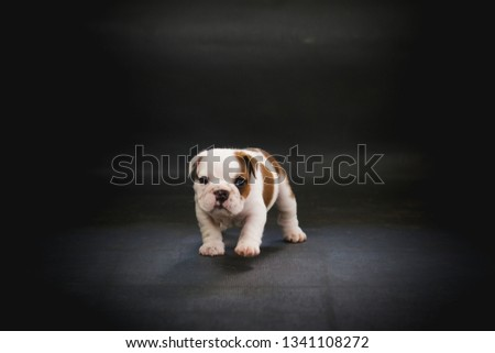 English bulldog puppy in basket studio portrait style, cute puppie in dark background