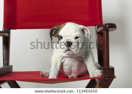 English Bulldog Puppy in Red Directors Chair