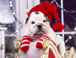 english bulldog puppy in santa claus hat