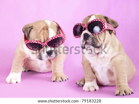 english Bulldog puppy in sunglasses