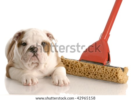 english bulldog puppy laying beside a sponge mop - stock photo