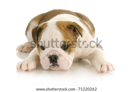 english bulldog puppy laying down with reflection on white background
