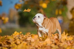 English bulldog puppy looking at falling leaf in autumn